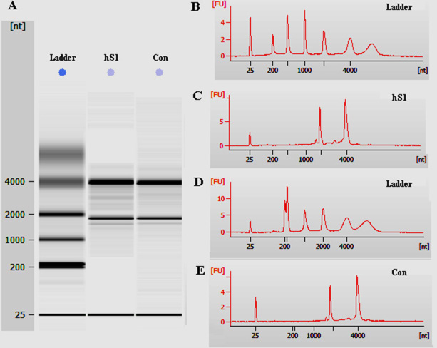 The quality assessment of total RNA of the immortalized human Sertoli cells and primary human Sertoli cells.