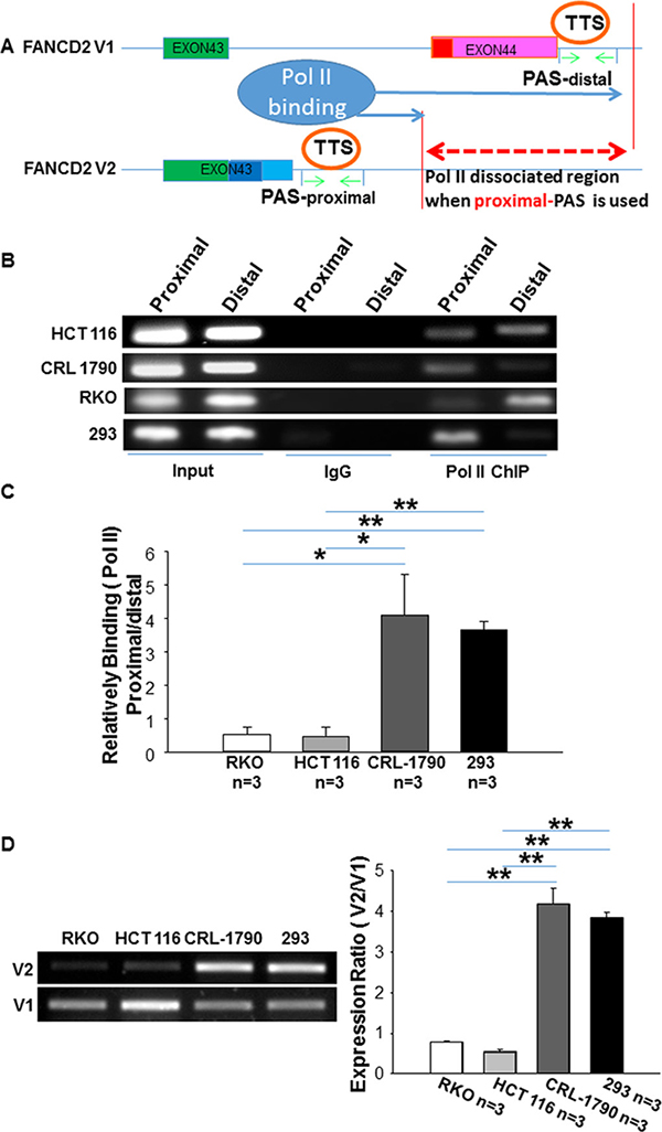 RNA polymerase II binds relatively more to the distal PAS region of FANCD2 gene in cancer cells as compared to the non-cancer cells.