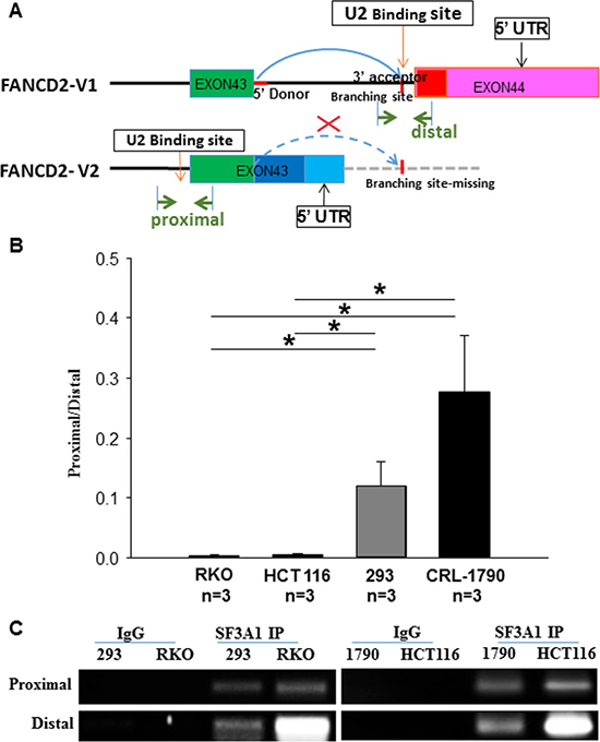 SF3A1 (the core component of U2 snRNP) RNA immunoprecipitation (RIP) shows that U2 snRNP interacts more with the last intron of V1 transcript in cancer cells as compared to the non-cancer cells.