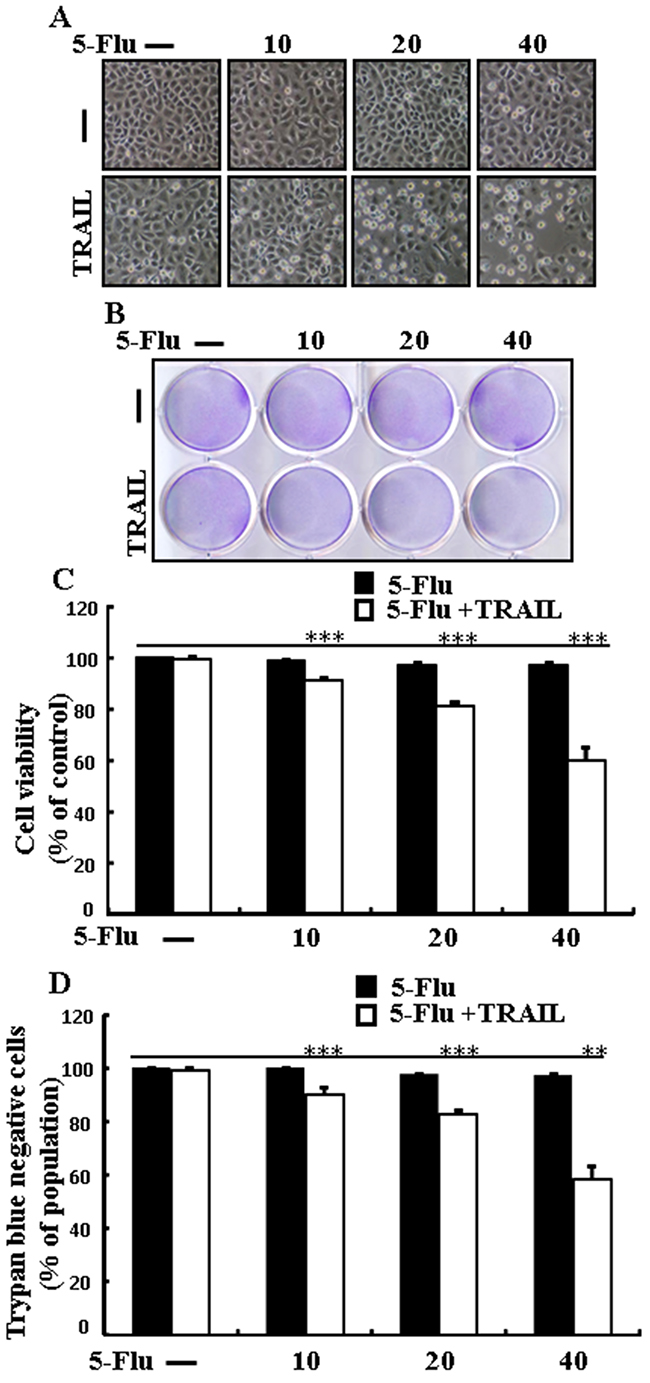 5-Fluorouracil enhances TRAIL-induced apoptosis in lung adenocarcinoma cells.