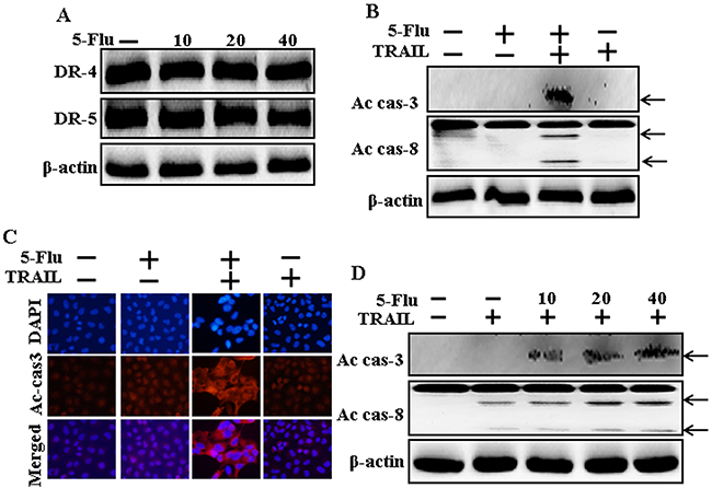 Effects of 5-fluorouracil on death receptor and enhances apoptosis mediated by TRAIL.