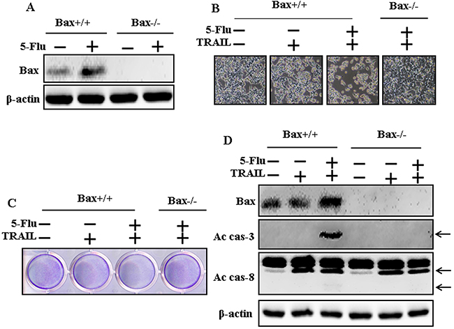 Effects of 5-fluorouracil in Bax-containing (Bax+/+) and Bax-deficient (Bax-/-) HCT116 human colon carcinoma cells mediated by TRAIL.