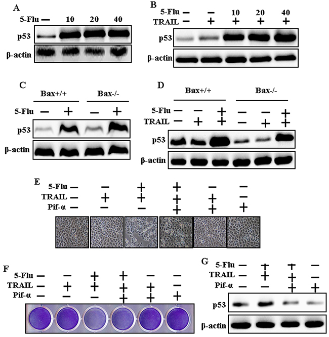 5-Fluorouracil enhanced p53 expression in A549, Bax-containing (Bax+/+) and Bax-deficient (Bax-/-) HCT116 human colon carcinoma cells mediated by TRAIL.