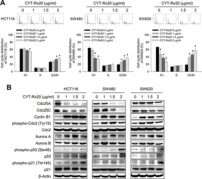 Effects of CYT-Rx20 on cell cycle distribution and regulatory proteins in colorectal cancer cells.