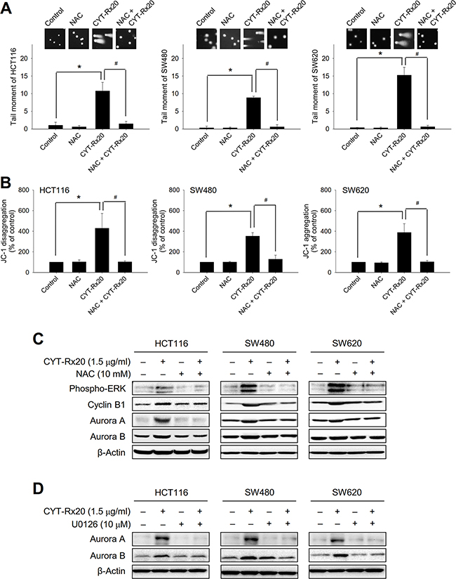 Effects of NAC and U0126 on CYT-Rx20-induced DNA damage, loss of mitochondrial membrane potential, and expression of cell cycle regulatory proteins.
