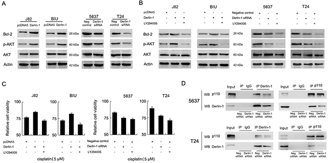 Derlin-1 interacts with p110α and regulates AKT/Bcl-2.