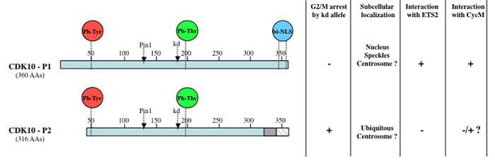 Schematic diagram and properties of two CDK10 splice isoforms.
