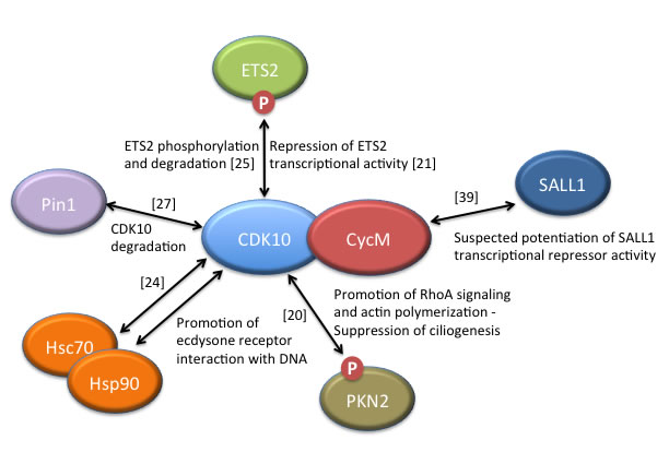 CDK10/CycM protein interactions and associated functions.