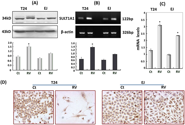 Resveratrol upregulated SULT1A1 expression in T24 and EJ cells.