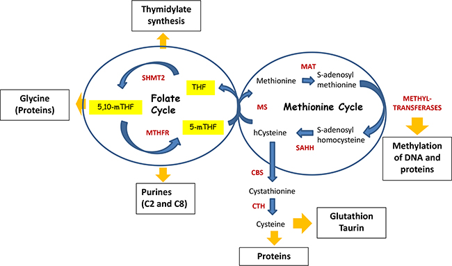 Folate cycle is coupled with Methionine cycle.