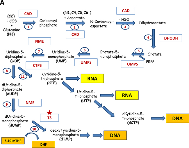 Major pathways of the nucleotide biosynthesis.