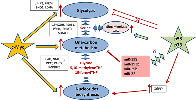 Regulation of one-carbon metabolism and nucleotide biosynthesis by p53 and c-Myc.
