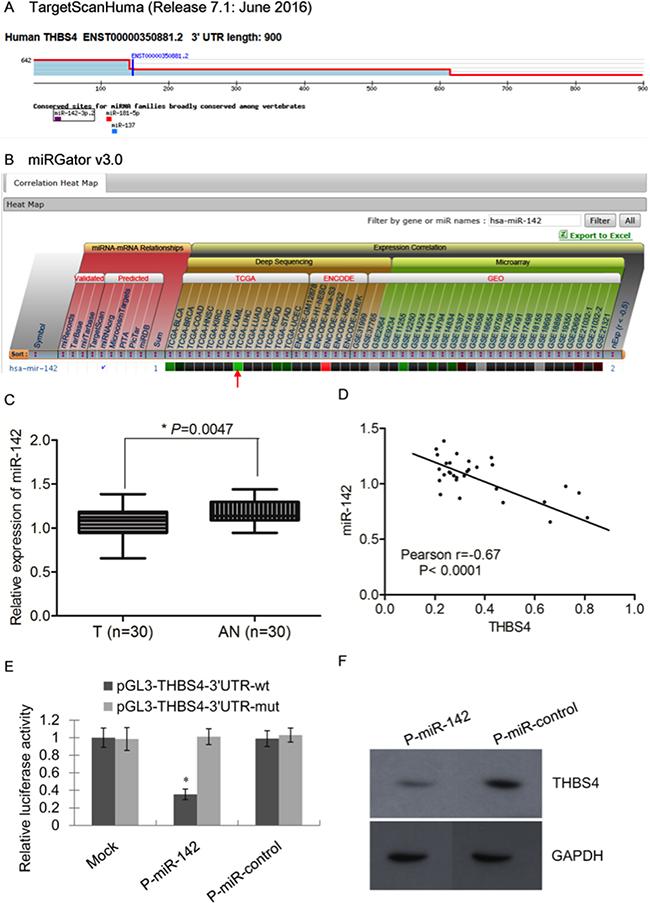 miR-142 is an upstream regulator of THBS4 in HCC cells.