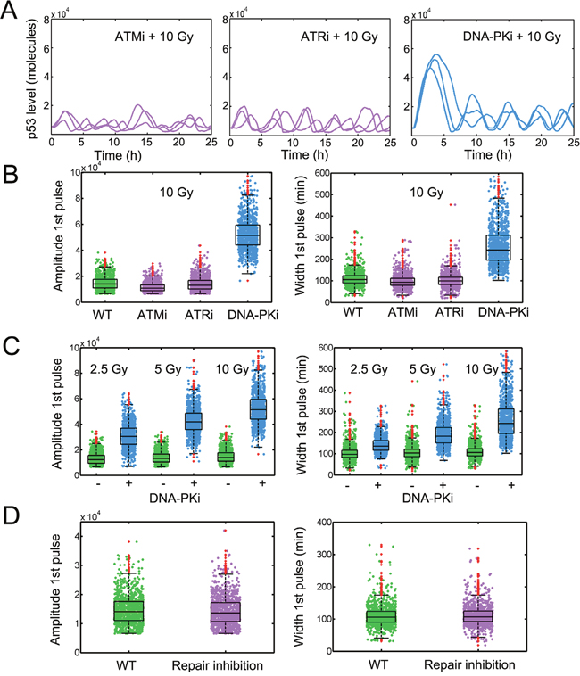 Amplified p53 pulses under DNA-PK inhibition.