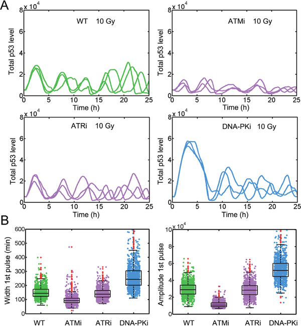 Moderate inhibition of ATM by DNA-PK is required to replicate the p53 dynamics.