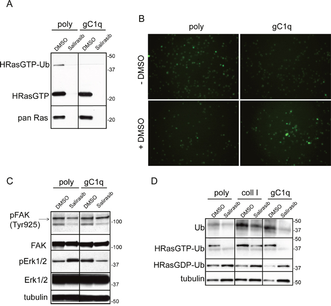 Salirasib/DMSO treatment had opposite effects on cells persistently adherent to polylysine or gC1q.