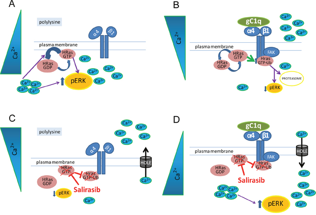 A schematic view of the HRas involvement in gC1q-α4β1 integrin mediated pathway.