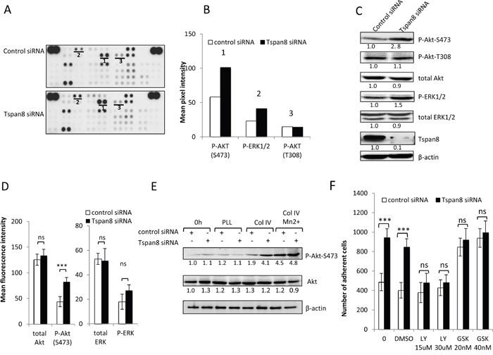 Tspan8 down-regulates β1 integrin-mediated cell adhesion through PI3K/Akt signaling.