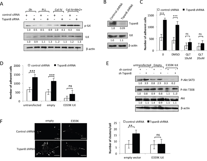 Tspan8 silencing reduces ILK activity with a concomitant decrease in β1 integrin-dependent adhesion and clustering.