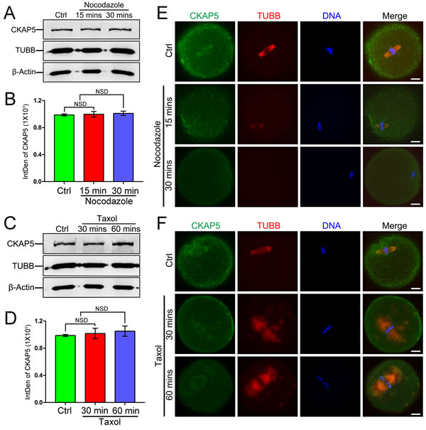 Expression and localization of CKAP5 in mouse oocytes treated with nocodazole or taxol.