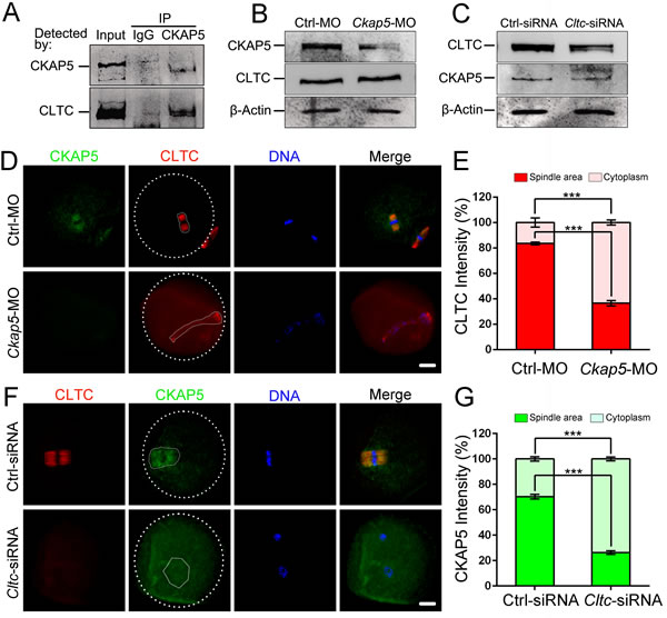 CKAP5 binds to CLTC during meiotic maturation.