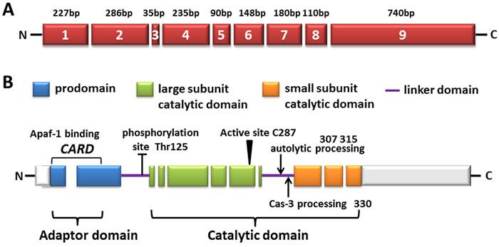 The diagram of human caspase-9.