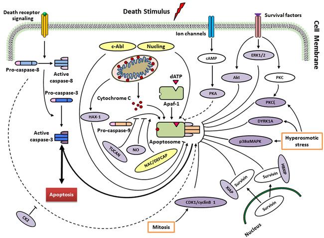 Regulation of caspase-9 by endogenous regulators in different signalling pathways.