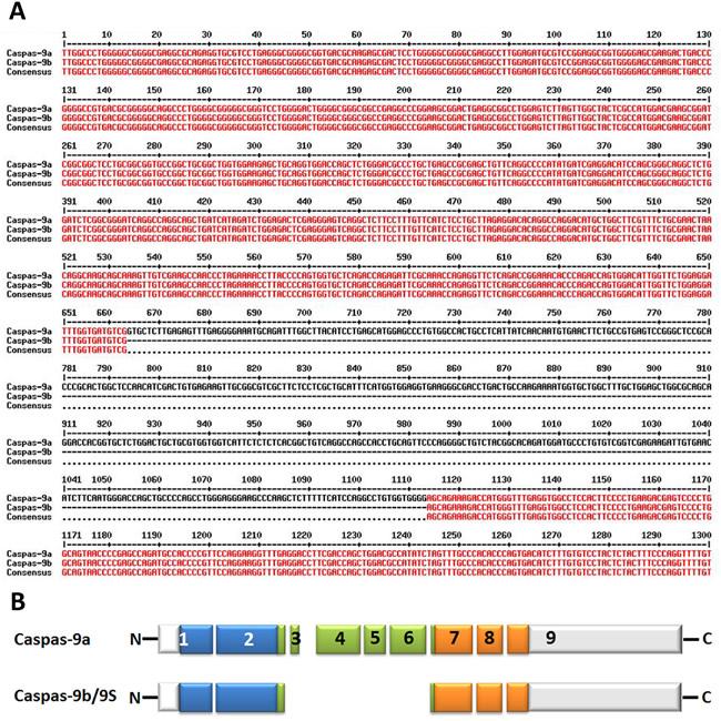 Alternative splice variants of human caspase-9.