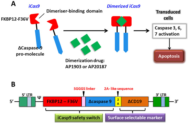 The apoptosis of transduced cells incurred by activated iCasp9.