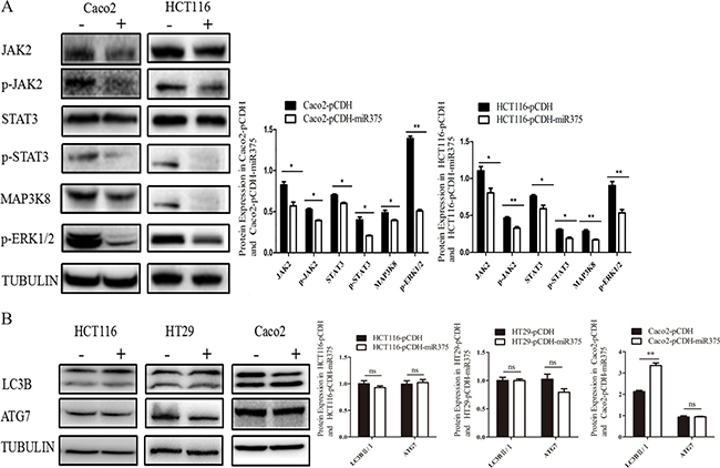 miR-375 down-regulated JAK2/STAT3 and MAPK/ERK signaling pathways, but miR-375 down-regulated ATG7 in a cell line specific way.