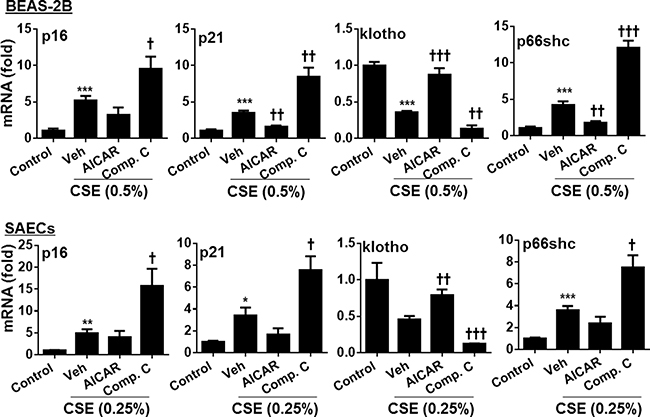 Effect of AMPK on expression of p16, p21, klotho and p66shc genes in human lung epithelial cells treated with CSE.