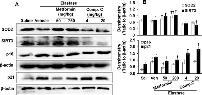 Prophylactically effect of AMPK on levels of p16, p21, SOD2, and SIRT3 proteins in mouse lungs with emphysema.