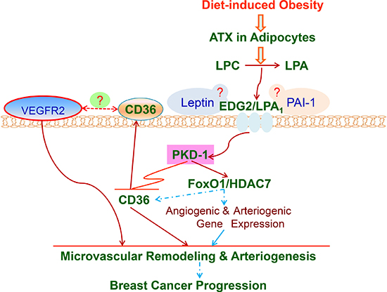 LPA/PKD-1-CD36 signaling axis in de novo tumor arteriogenesis in obesity.