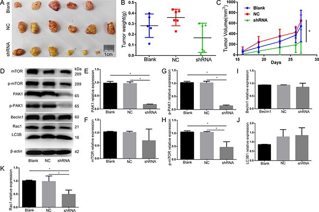 Animal study knockdown of PAK1 decreased DU145 PCa xenograft growth by compared with the negative control.