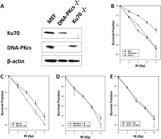Cellular radiosensitivity depends on NHEJ after exposure to ionizing radiation (IR).