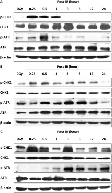 Activation of the ATR–CHK1 pathway is related to DSB repair.