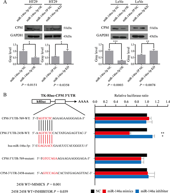 CPM is a target gene of miR-146a-5p.