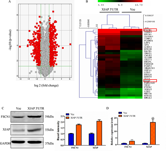 Perturbation of gene expression by XIAP 3′UTR transfection.