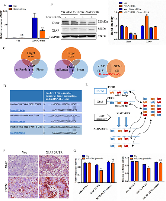 XIAP 3′UTR interacts with miRNAs and regulates expression of associated genes.
