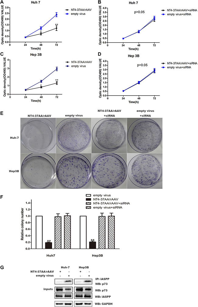 Transfection of NT4-37AA/rAAV reduced cell proliferation in HCC cells.