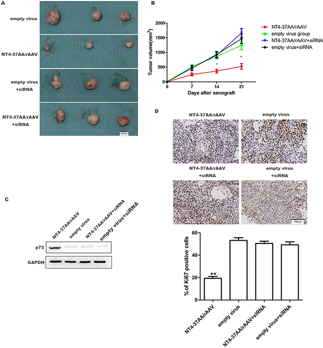 NT4-37AA/rAAV suppressed the growth of Huh-7 xenografts in nude mice.