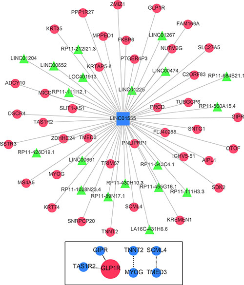 Gene network of the correlative genes of LINC01555.