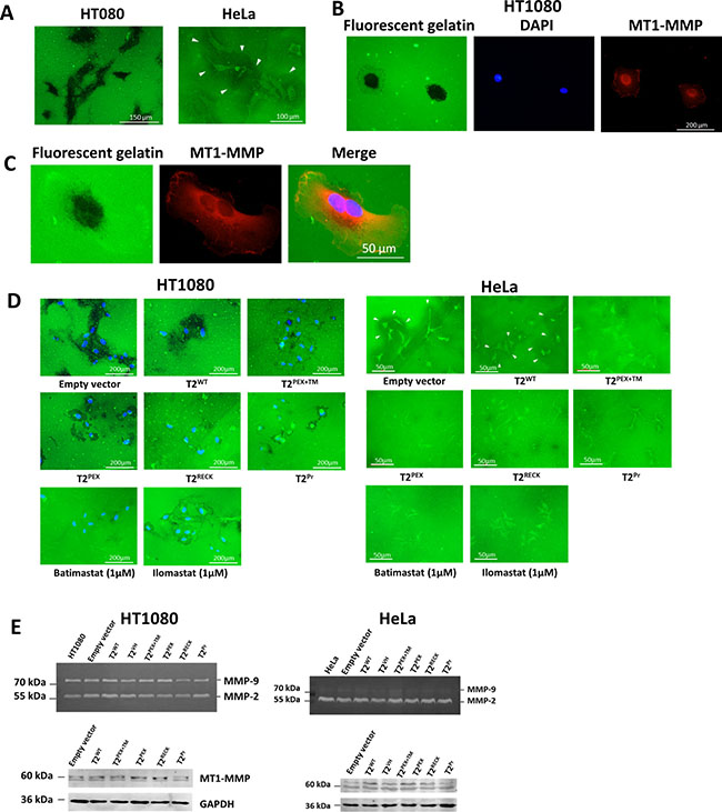 Membrane-anchored TIMP-2s inhibit gelatin degradation by HT1080 and HeLa cells.