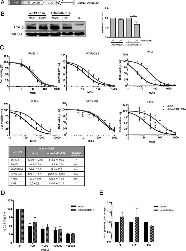 AdNuPARmE1A oncolytic adenovirus is regulated by the Notch pathway and displays a high oncolytic activity in pancreatic cancer models in vitro.