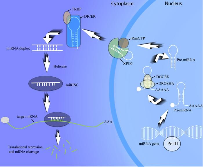MiRNA biogenesis procedure.