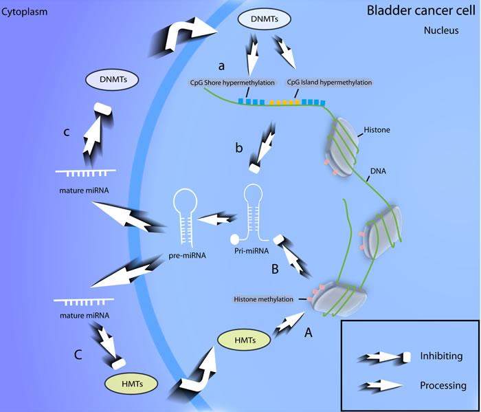 Feedback loop of epigenetic modifications of miRNAs in BCa.