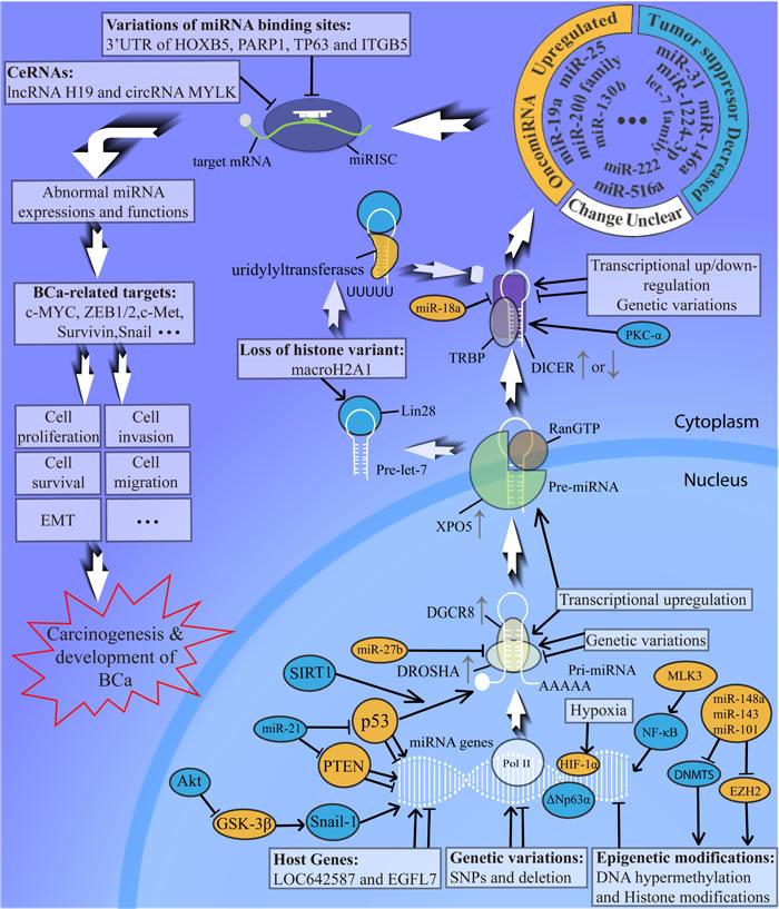Abnormal miRNA biogenesis in bladder cancer development.