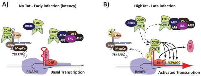 Tat activates viral transcription.