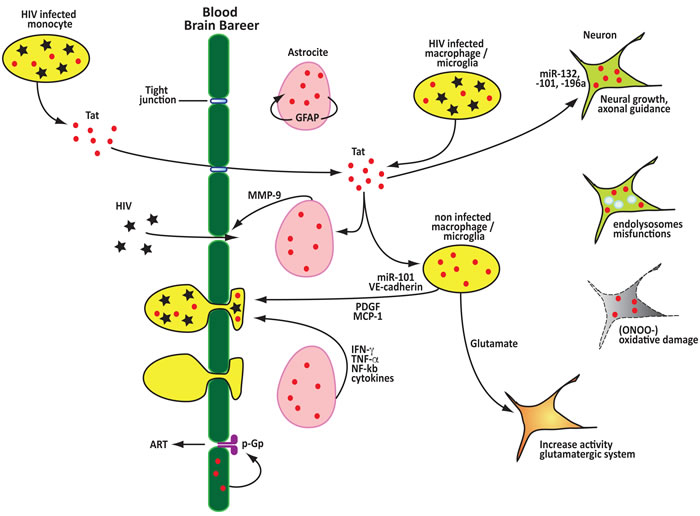 Tat contributes to the disruption of the blood brain barrier, neuroinflammation and neurotoxicity.