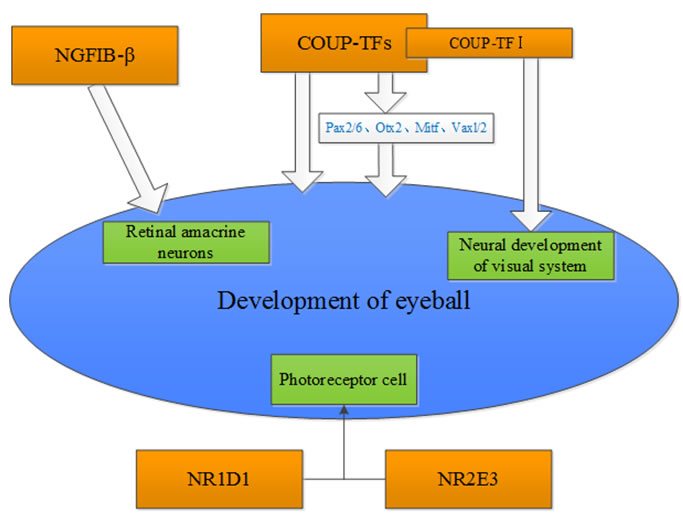 Potential nuclear receptors that are associated with the development of the eye.
